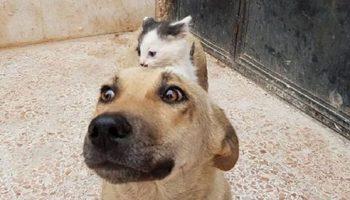 Трогательная дружба котенка — сироты с собакой, потерявшей щенков