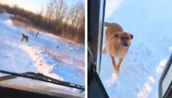 Водитель ежедневно делает остановку автобуса, чтобы накормить бездомную собаку…