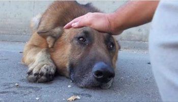 Мужчина просто погладил собаку, бездомный пес лег и заплакал