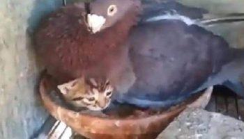 Голубка усыновила маленького котенка