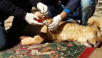 Зоопарк подрезал ногти львенку, чтобы дети могли с ним играться