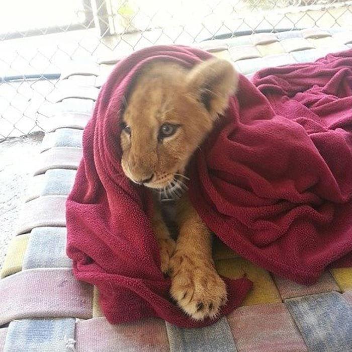 Спасенный львёнок не может спать без одеяла, несмотря на то, что он уже вырос