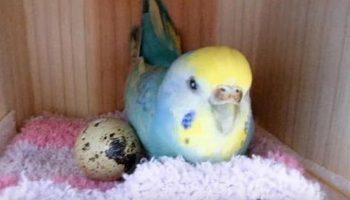 Девушка купила перепелиное яйцо в магазине и подложила его к попугаю