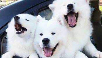 Если у вас плохое настроение, взгляните на снимки этих милых самоедов