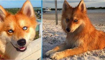 Помски: самая милая и необычная собака-лиса сводит с ума интернет-пользователей