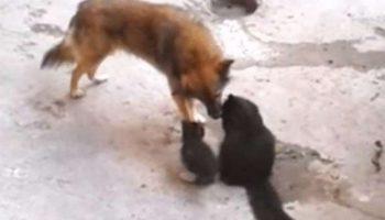 Мама-кошка привела своих котят в гости к другу-собаке. Встречу трогательнее сложно представить!