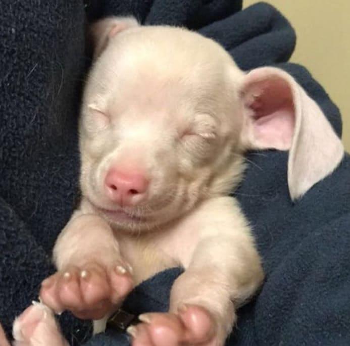 Щеночек с милой кличкой Пятачок родился розовым и глухим, но это не испортило ему жизни