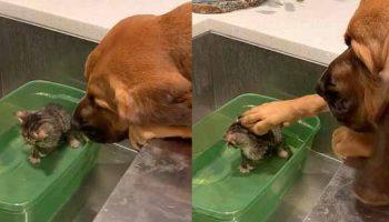 Огромный пес успокаивает котенка, принимающего первую ванну в новом доме