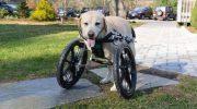 Собака-инвалид в приюте год сидела в тесной клетке, сточив об прутья зубы
