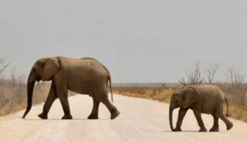 Слоненок сирота уснул на коленях человека — очень трогательно!