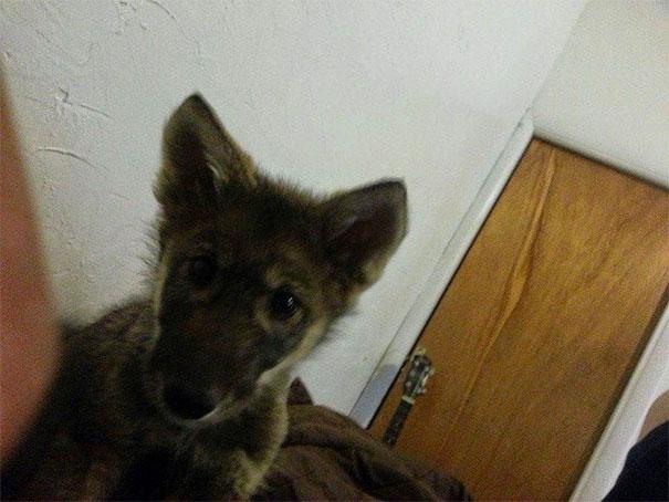 Мужчина приютил щеночка, а из него выросла совсем не собака