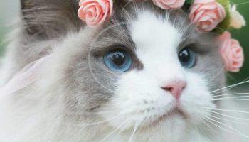 Самая красивая кошка в мире, милейшая создание, умная и преданная как собака…