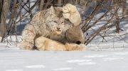 12 разновидностей самых редких котов в мире. О некоторых вы даже не знали