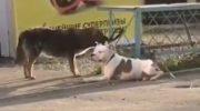 Бездомная собака пыталась спасти привязанного к забору питбуля. Но не тут-то было!