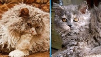 Удивительные коты Селкирк-рекс, которые совсем не похожи на других