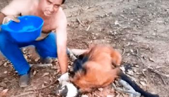 Мужчина подошел к обессиленному волку, чтобы спасти ему жизнь!