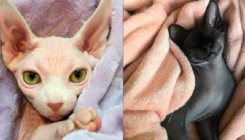 Фото очаровательных котиков, которым не нужна шерсть, чтобы быть шикарными