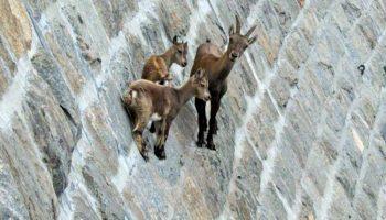 Горные козлы не знают, что такое законам притяжения и гравитация
