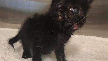 Уникальный «котенок Януса» с двумя мордочками, благодаря стараниям врачей, получил шанс прожить долгую жизнь!