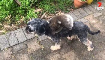 Забавное видео: детеныш коалы перепутал собаку с мамой и отказывается с нее слезть