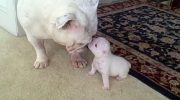 Это видео покорило Интернет: 17 000 000 просмотров, как щенок смешно злится на свою маму