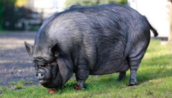 Спасение свиньи весом 200 кг из горящего дома, которая жила в квартире у британки