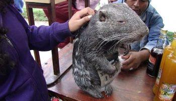 Самая большая и обаятельная мышь на свете — пакарана