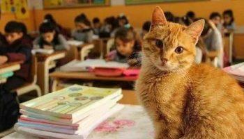 Кот Томбо учится в третьем классе и перестает есть, когда его не пускают в школу