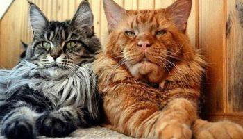 Величественный кот мейн-кун: фото и описание породы