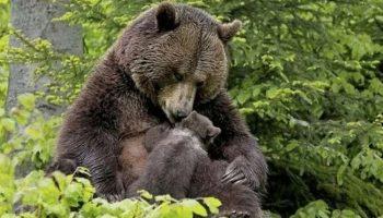 Медведица подтолкнула своего медвежонка к девушке, чтобы она вытащила из его лапы занозу