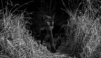 Чёрный леопард попал в объектив британского фотографа — впервые за последние сто лет