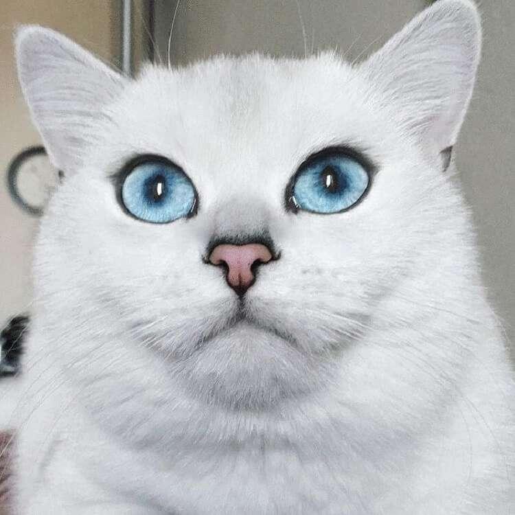 Красивые коты с голубыми глазами порода