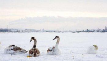 Женщина спасла семью лебедей, замерзающих на пруду