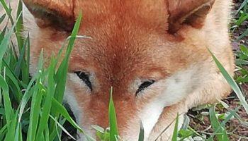 Собака по кличке Мокка породы сиба-ину стала звездой после искренней улыбки хозяину