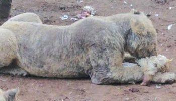 Просто шок! В заброшенном питомнике ЮАР нашли 108 львов, которые погибают от голода