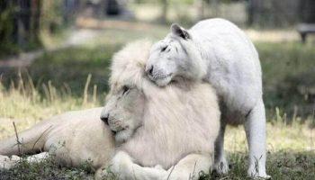 У белых льва и тигрицы родились потрясающие детеныши!