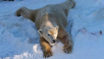 Бесподобная реакция белых медведей на снег. В зоопарк Сан-Диего завезли 26 тонн снега.