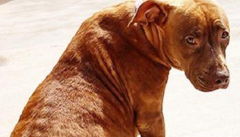 Жизнь беременной собаки могла оборваться в приюте, волонтеры намеревались ее усыпить