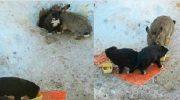 Кролик спасбездомных щенков и стал им настоящим отцом. Ушастый папочка согревал их и кормил