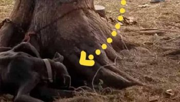 Сутками прикованная к дереву собака оберегала своих щенков, которых здесь же и родила!