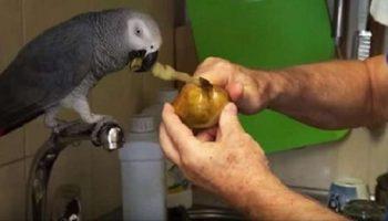 Попугай по кличке Кирюша помогает чистить картошку, а заодно и рассказывает о том – о сем