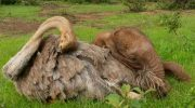 Слоненок-сирота, потерявший семью, каждый день обнимает страуса