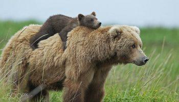 15 фото медведиц с детьми — невероятно мило!