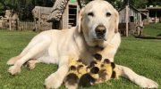 Лиса украла маму… Но утят усыновил лабрадор и теперь считает себя их отцом и даже учит плавать!