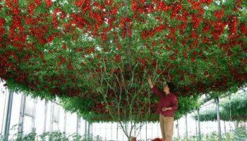 Удивительное помидорное дерево, которое вырастили в Израиле. Фантастически урожайное!