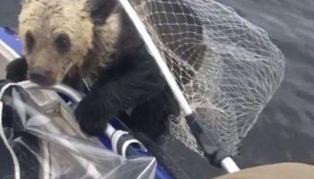 Медведица была не в силах помочь своим мадвежатам, но рядом оказались рыбаки