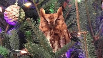 Семья целую неделю не замечала на наряженной рождественской елке живую сову