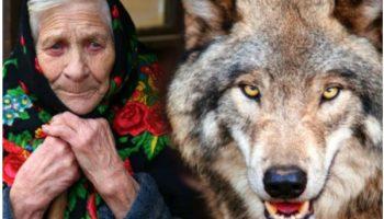 Волк вышел навстречу непрошенным гостям. Пенсионерка взяла домой волчонка, подумав сослепу, что перед ней щенок