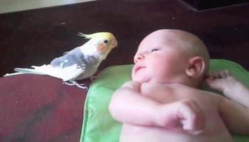 Волнистый попугайчик поет малышу колыбельные