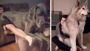 Фото собачек, которые точно не понимают, насколько они БОЛЬШИЕ, и норовят залезть на колени